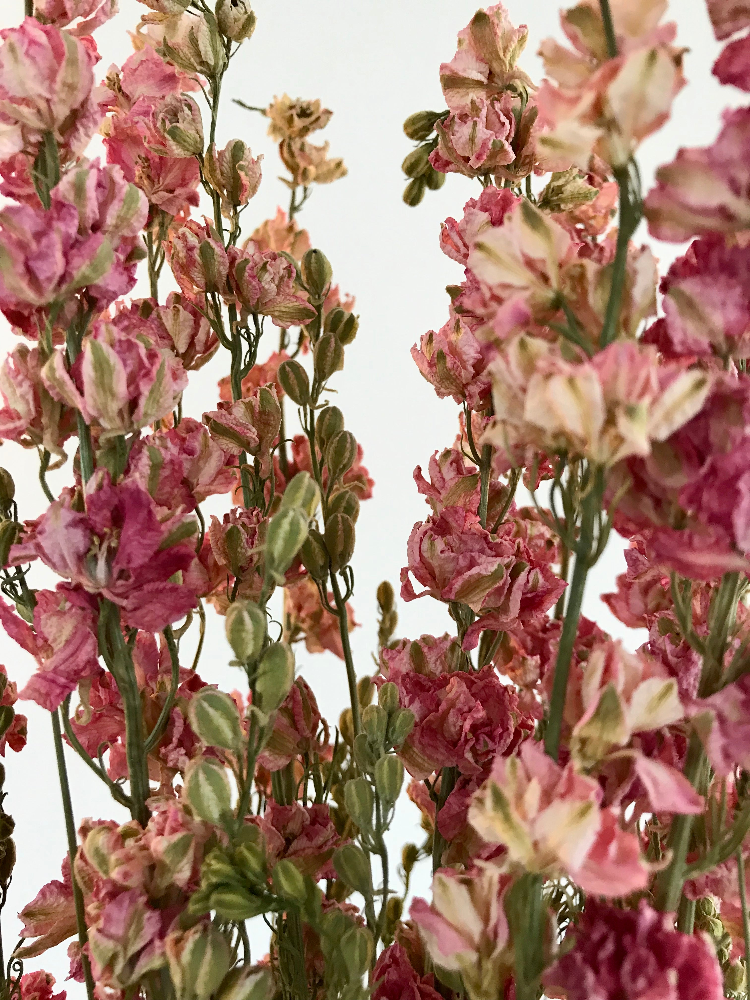 Bunch of Dried Pink Delphinium
