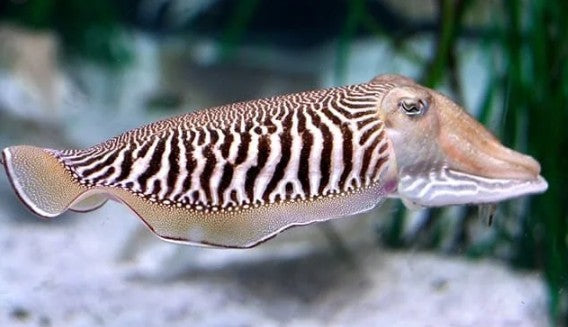 Refresh Cuttlefish/Sepia - Wild