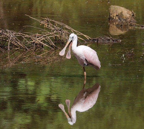 Roseate Spoonbill Photo by Rob Van Epps