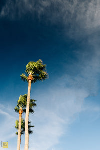 Palm Trees in Dana Point, California