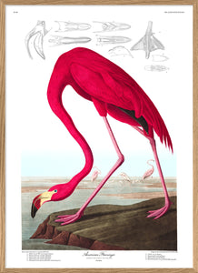 Affiche Flamant rose