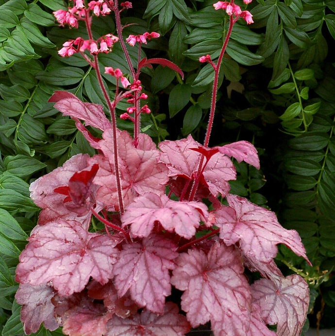 Assorted Heuchera (Coral Bells)