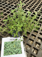 Thyme (4 in)