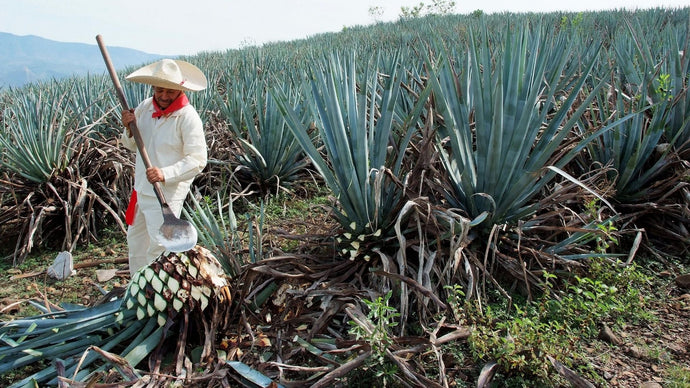 What is Agave and How is it Transformed into Tequila?