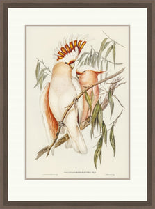Framed Gould print, Leadbeater's Cockatoo