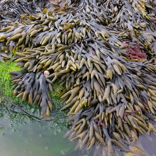 Bladder Wrack, Dried