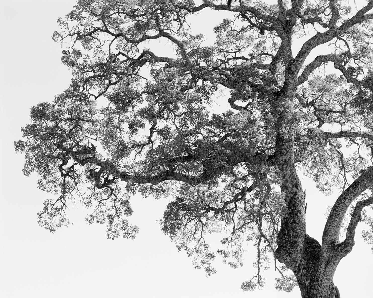 Film study of an oak tree by Mike Basher