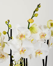 Load image into Gallery viewer, Orchids, Sparkling Elderflower & McCambridges Chocolate