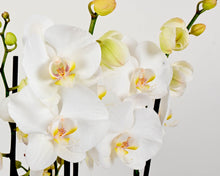 Load image into Gallery viewer, Orchid & Gift Trio