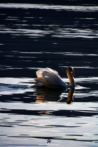 White Swan... - Photos Annecy
