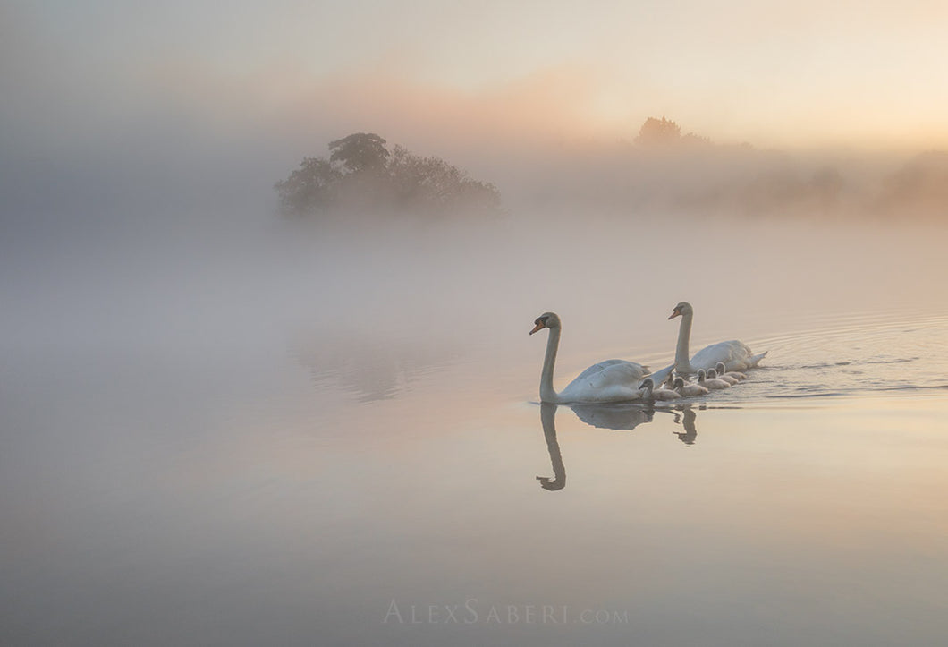 Cygnets in the Mist