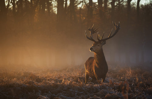 Majestic, Richmond Park Print