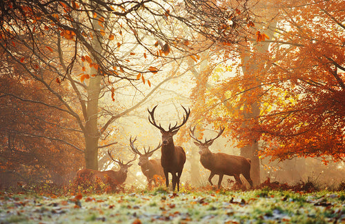 Realm of the Deer, Richmond Park Photography Print