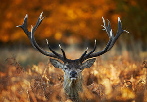 Lord of Fire, Richmond Park Photography Print