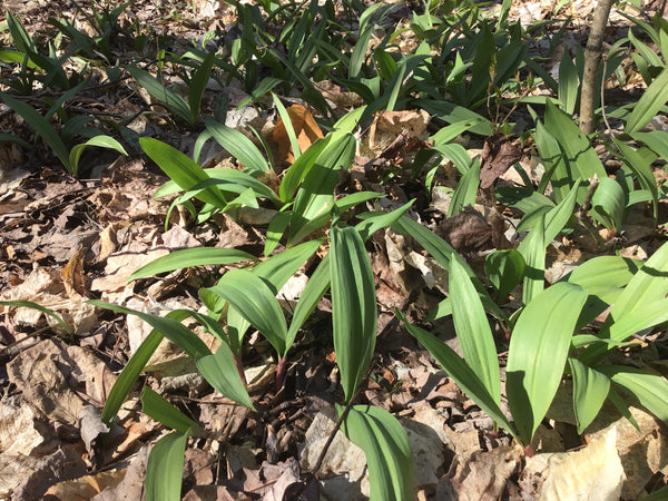 Wild Ramps (Ready to Eat)