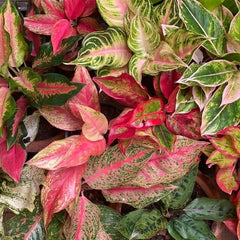 AGLAONEMA - Home Office Plant