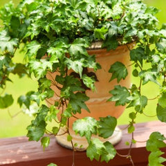 ENGLISH IVY - Home Office Plant