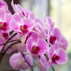 ORCHIDS - Home Office Plant
