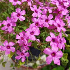 OXALIS - Home Office Plant