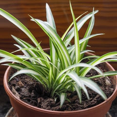 Spider Plant -Home Office Plant