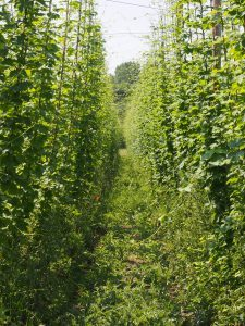 As the lateral shoots form, the hop garden plants close in on the pathway