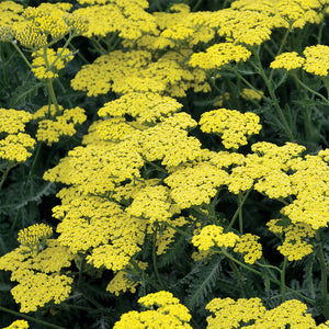 Sassy Summer Lemon 'Yarrow'