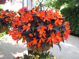 Begonia Tubular  Illumination Basket