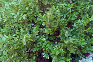 Chicagoland Green Boxwood