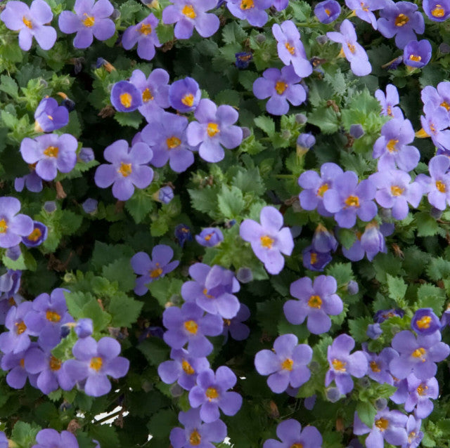 Bacopa Scopia Gulliver Blue Basket
