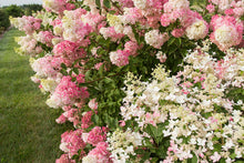 Load image into Gallery viewer, First Editions® Berry White® Hydrangea