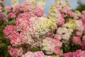 First Editions® Berry White® Hydrangea