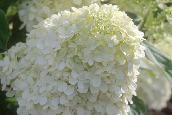 Limelight Hydrangea - Tree Form