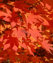 Load image into Gallery viewer, Korean Maple Tree
