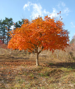 Korean Maple Tree