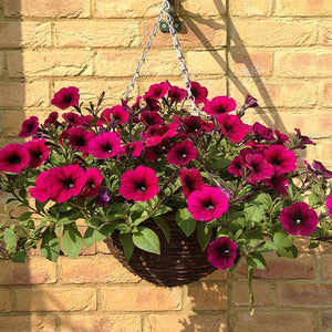 Petunia Shockwave Basket