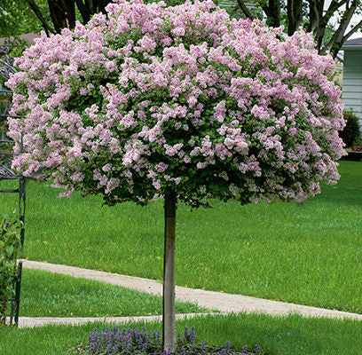 Dwarf Korean Lilac Tree Form