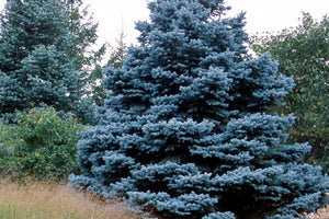 Spruce- Baby Blue Colorado Blue Sprice