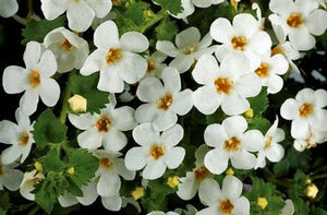 Bacopa Scopia Great White
