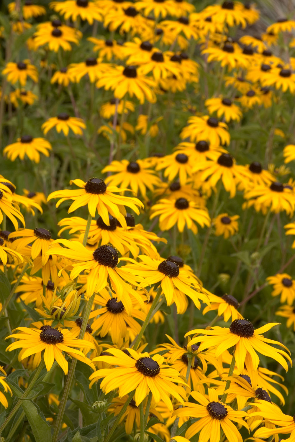 Goldsturm Black Eyed Susan