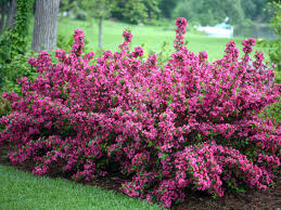 Sonic Bloom Pink Weigela