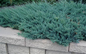 Blue Chip Juniper (2 gallon)