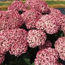 Hydrangea Incredible Blush Smooth