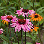 Load image into Gallery viewer, Coneflower Echinacea