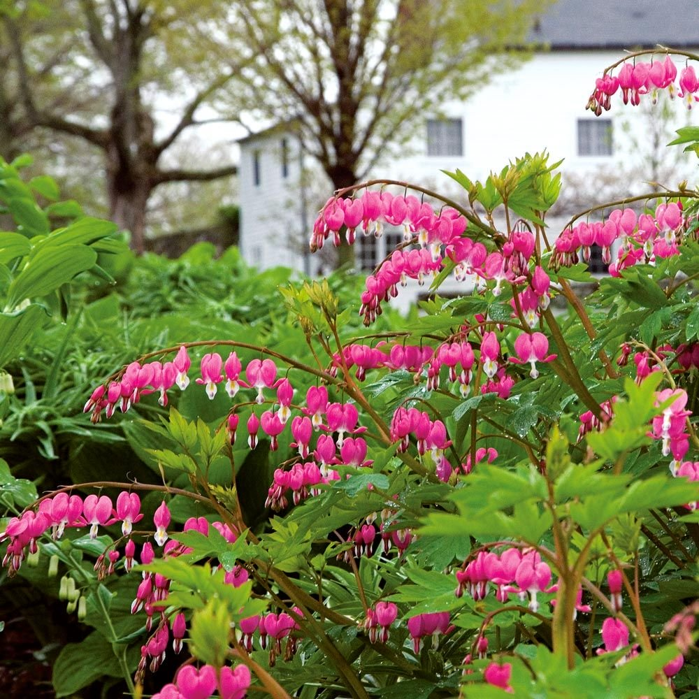 Bleeding Heart 'Valentine'