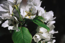 Load image into Gallery viewer, Mountain Frost Flowering Pear