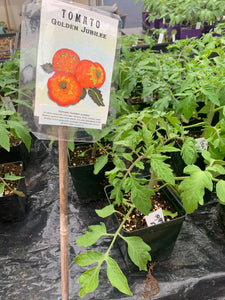 Golden Jubilee Tomato Start