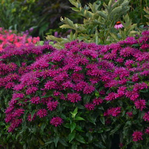 "Bee Balm ""Grape Gumball"""