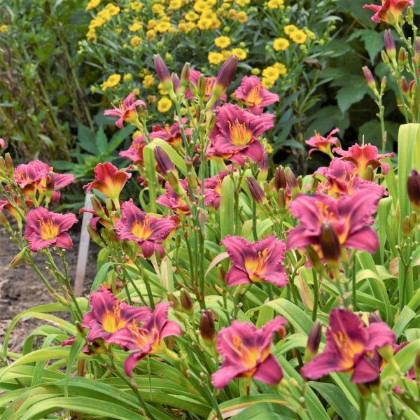 Daylily Little Grapette