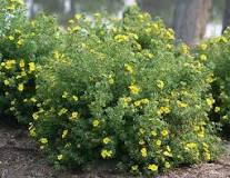 Potentilla Happy Face Bush