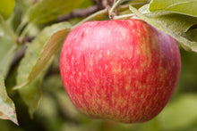 Load image into Gallery viewer, Honeycrisp Apple Tree